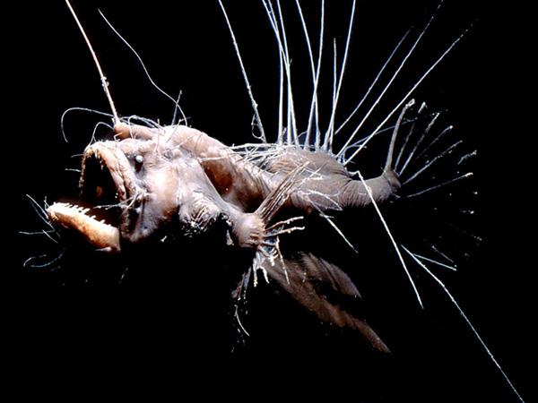 pez-abisal