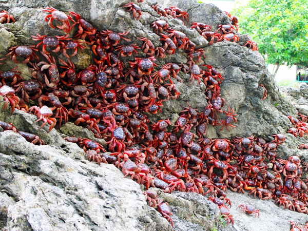 cangrejos-rojos4