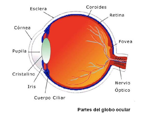 Partes-del-Globo-Ocular