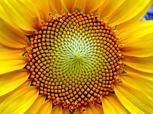 espiral girasol
