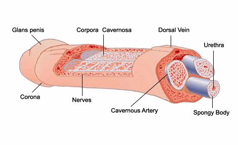 anatomía del pene