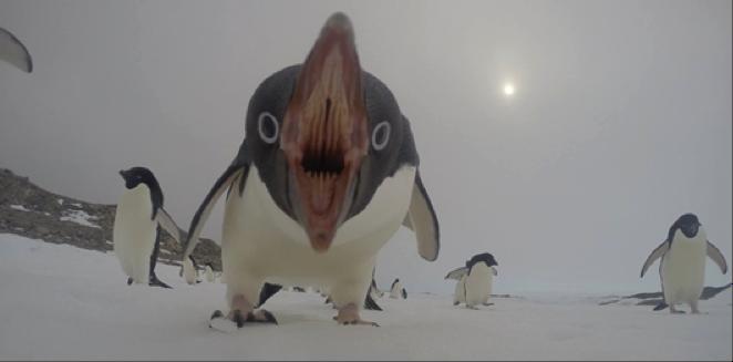 pinguinosii