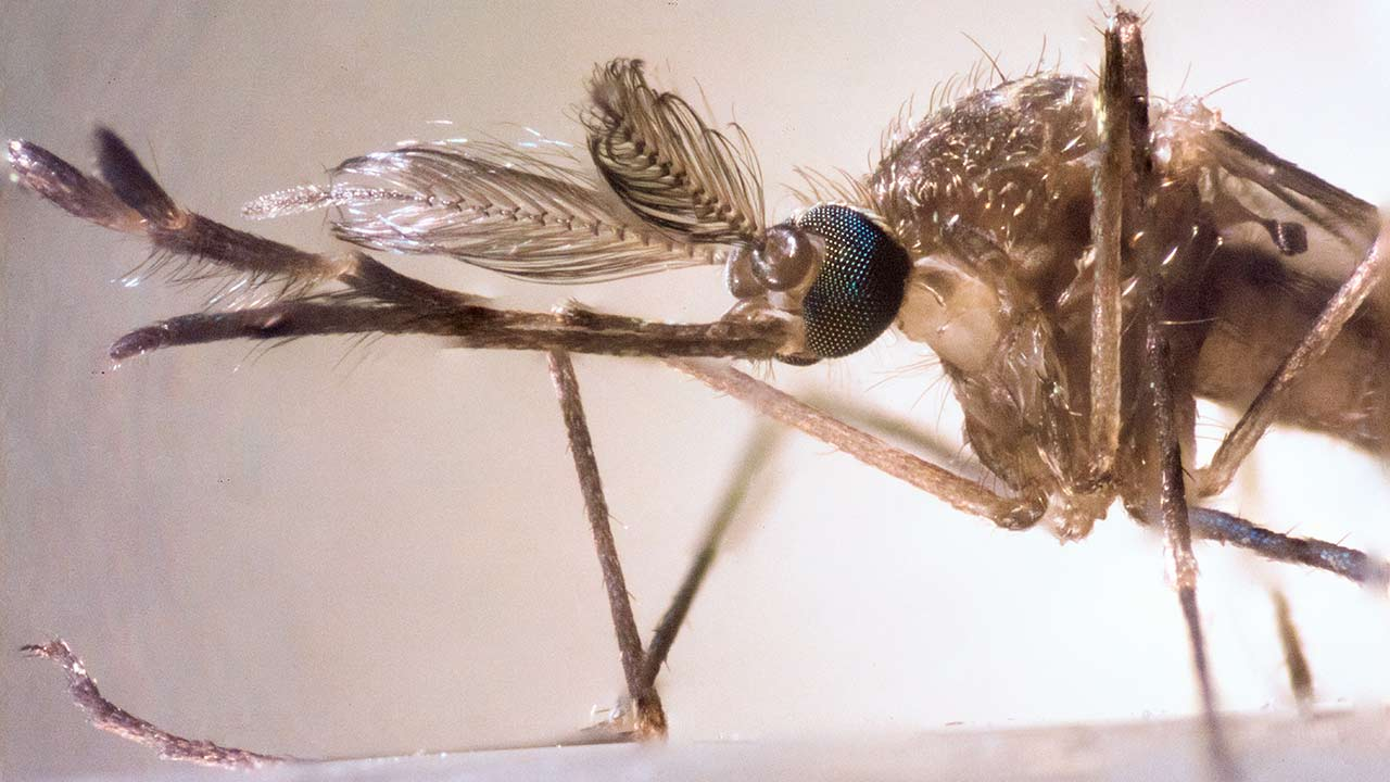 zapped_deadliestmosquitos