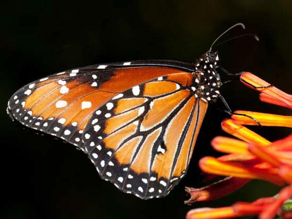Tecnología Animal: La Mariposa Monarca
