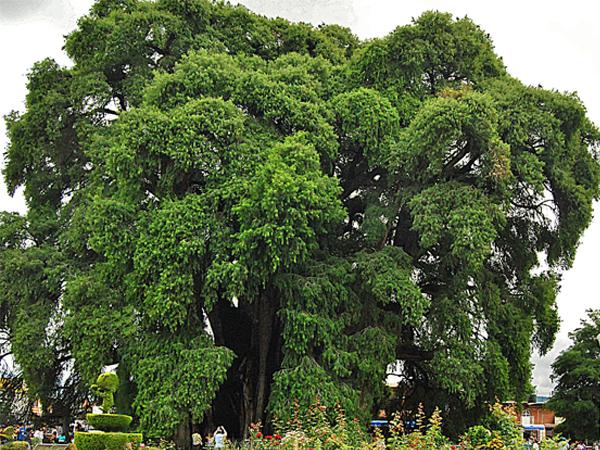El Árbol del Tule