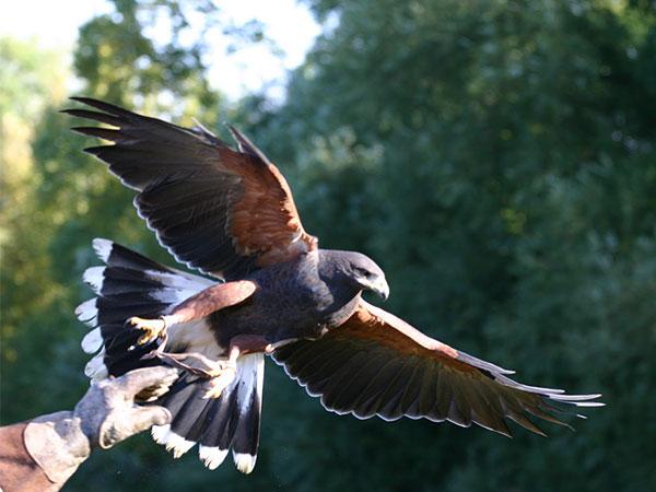 Cómo entrenar a tu halcón: La Cetrería