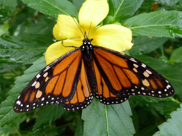 Lo que nos enseñan las mariposas monarca