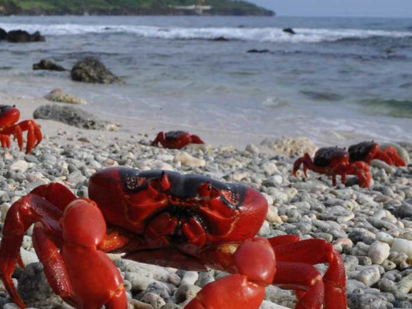 cangrejos-rojos1