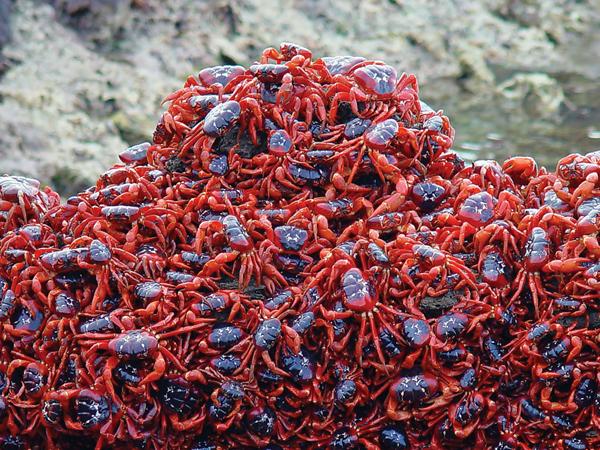 cangrejos-rojos5