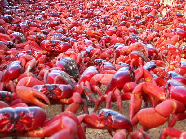 cangrejos-rojos6