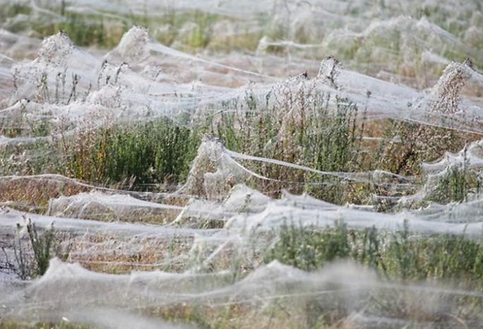 Arañas Wagga Wagga