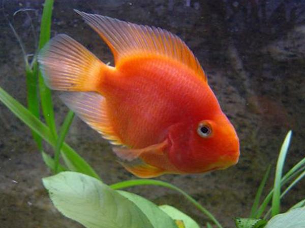 El pez loro, creador de arena