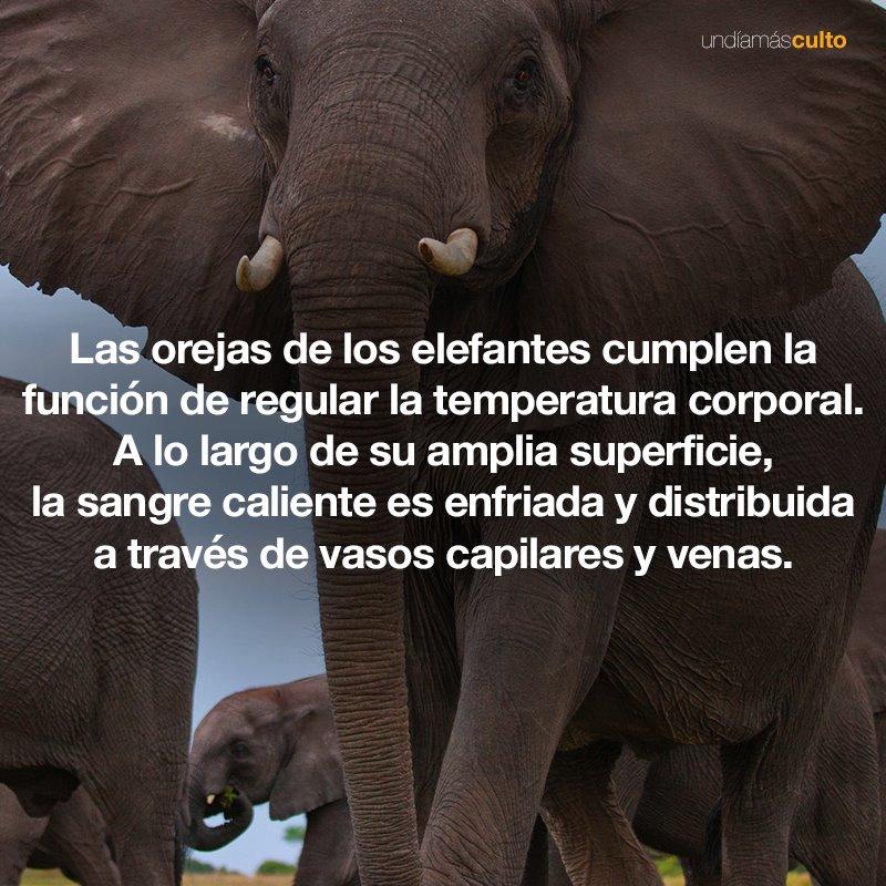 Orejas de los elefantes