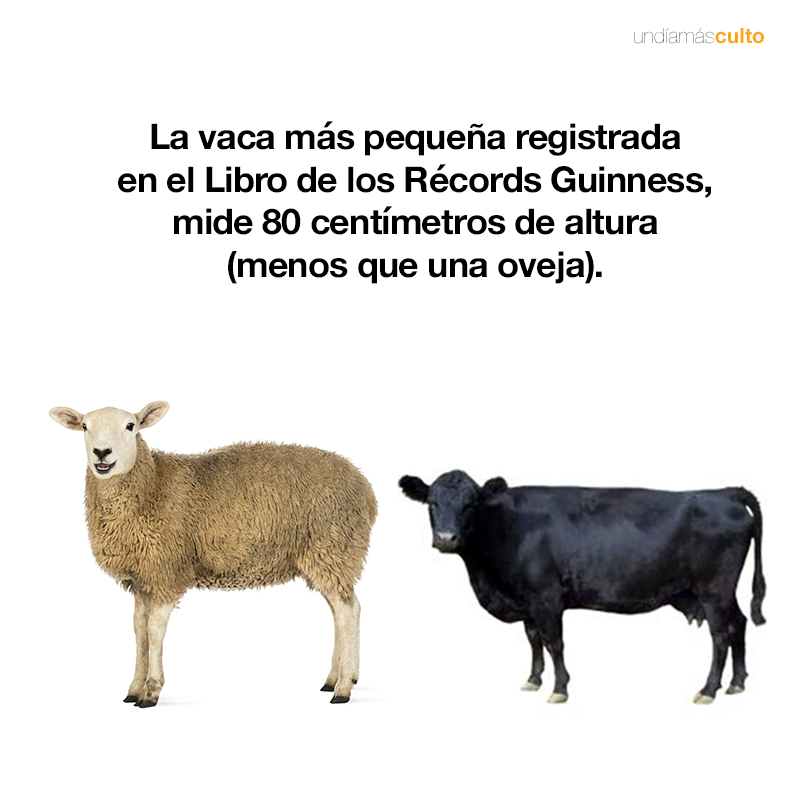 Vaca más pequeña