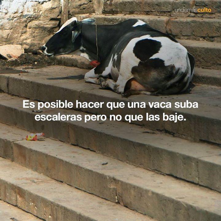 Vacas y escaleras