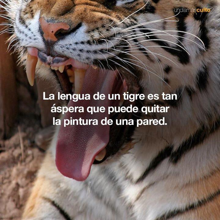 Lengua de un tigre