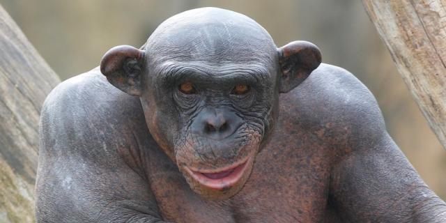 ¿Quién tiene más pelo, el humano o el chimpancé?