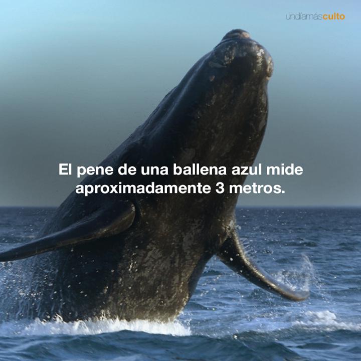 Pene de la ballena azul