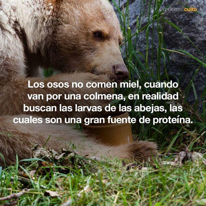 Los osos no comen miel