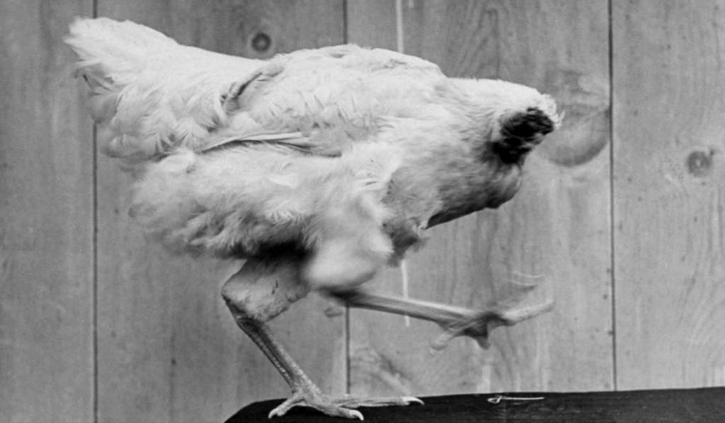 """La historia de Mike, """"El pollo sin cabeza"""""""