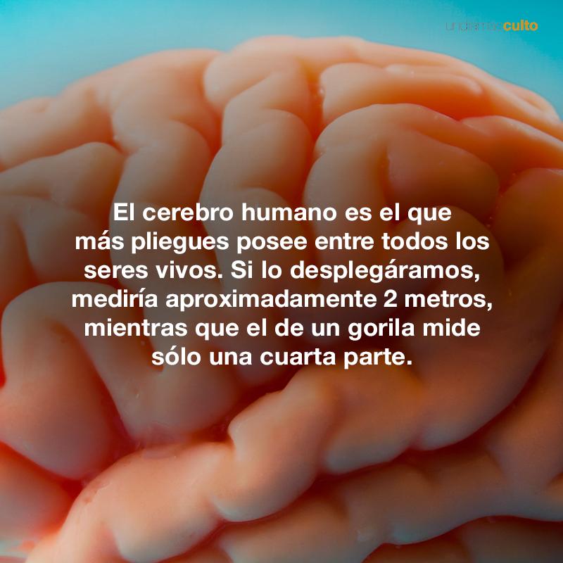 Pliegues del cerebro humano
