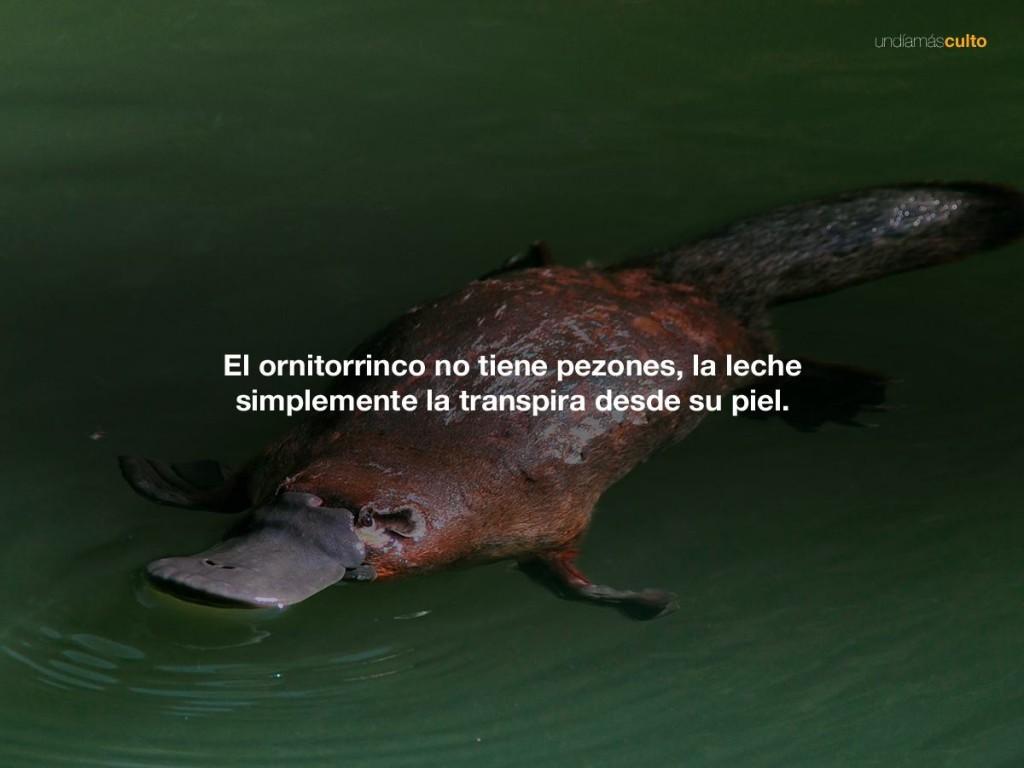 Ornitorrinco no tiene pezones