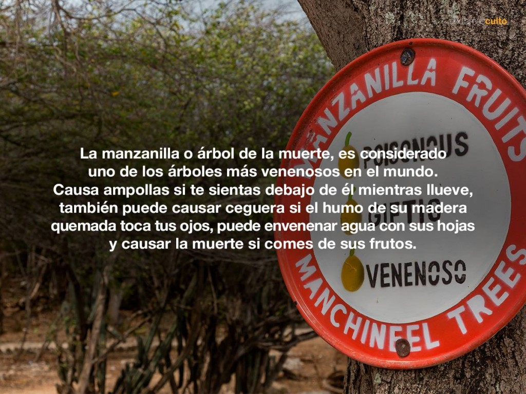 Manzanilla o árbol de la muerte