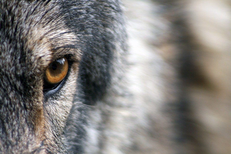 La Bestia de Gévaudan: Posible hombre lobo