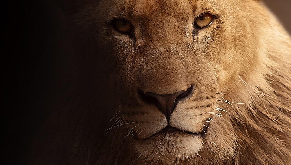 ¿Evolución del león? Leonas con melena