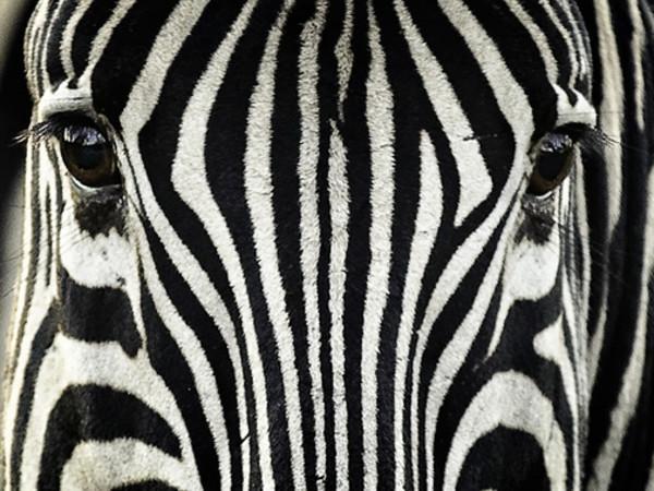¿Para qué sirve en realidad el patrón rayado de las cebras?