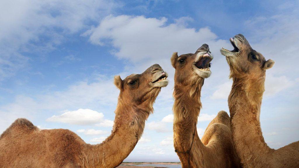 Biblioteca ambulante sobre camellos