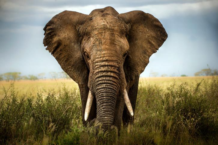 Sabes-diferenciar-un-elefante-africano-de-un-elefante-asiatico-1