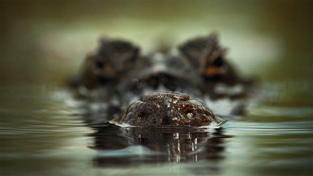El día que un grupo de cocodrilos exterminó a un batallón japonés
