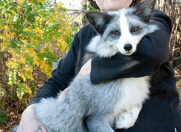 El experimento genético para convertir a los zorros en animales de compañía