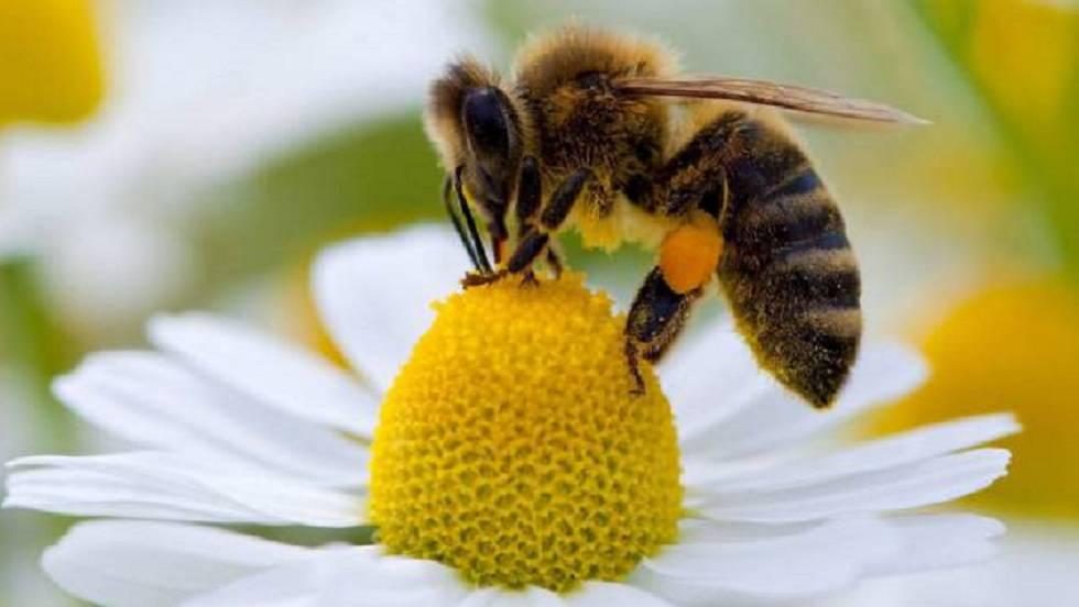 La danza de las abejas