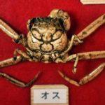 El cangrejo Heike de espíritu guerrero